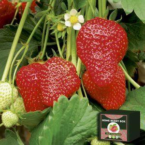 Home Berry Box zestaw do uprawy truskawek, jak używać, jak to działa
